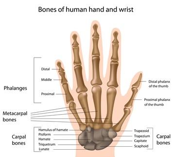 bones-human-hand-wrist